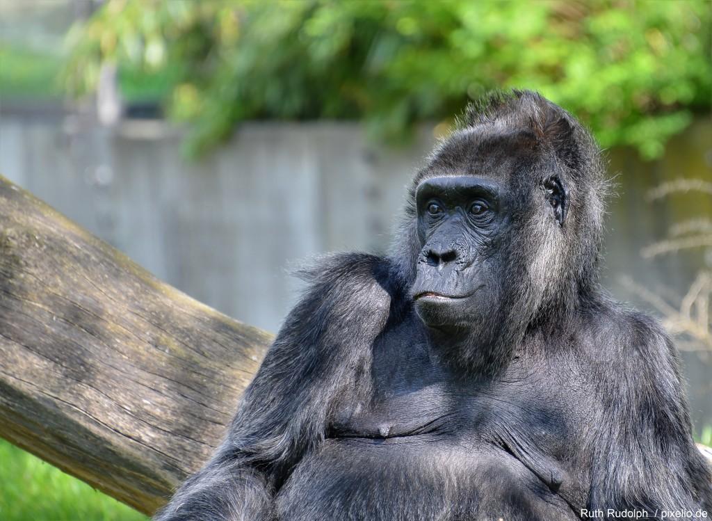 Gorilla im Menschenaffenhaus - Allwetterzoo Münster