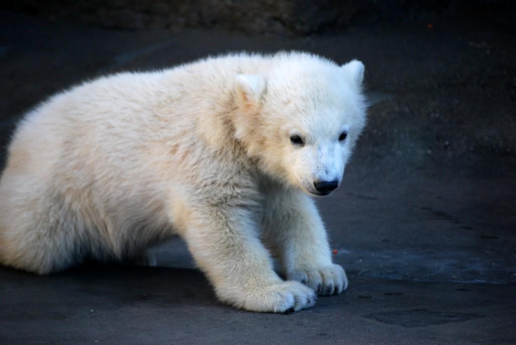 Eisbär Knut im Berliner Zoo