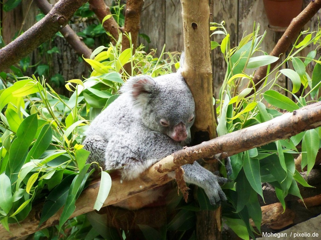 Koala Bär im Zoo Duisburg